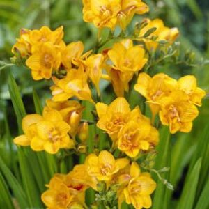 Freesias Doubles - Striped Sun