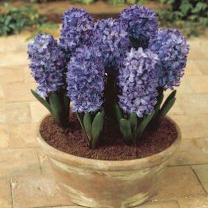 Hyacinth - Blue Star