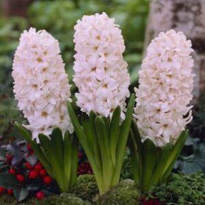 Hyacinth - China Pink
