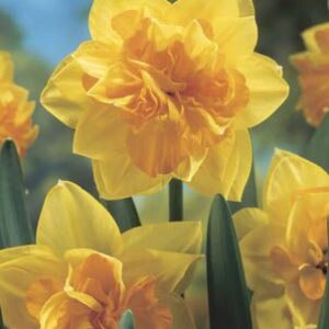 Daffodils Double - Apotheose