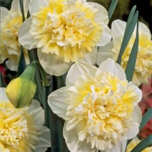 Daffodils Double - Ice King