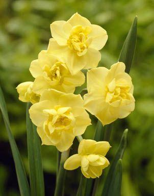 Daffodils Polyanthus Bunch Flowered - Yellow Cheerfulness