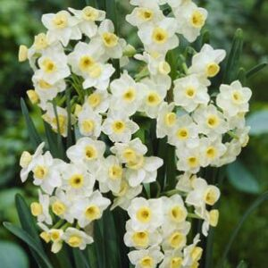 Daffodils Polyanthus Bunch Flowered - Grand Monarch