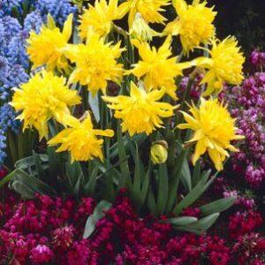 Daffodils Miniature - Rip Van Winkle