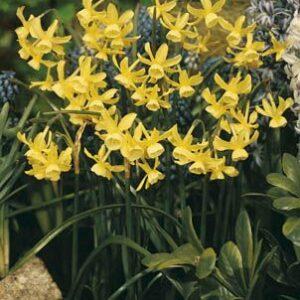 Daffodils Miniature - Hawera