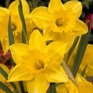 Daffodils Super - Carlton