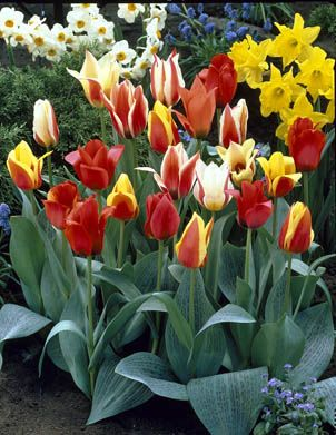 Tulips, Rock - Mixed