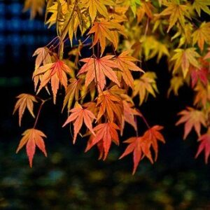Acer Serulatum