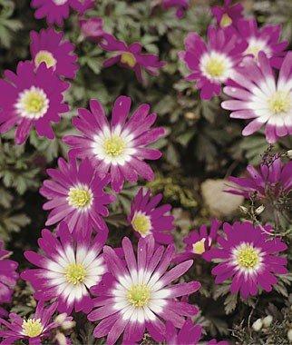 Anemone Blanda - Pink Star