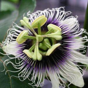 Passionfruit -Black (Passiflora Edulis) - 10cm (40/50)