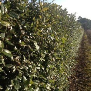 Quercus ilex  - PB28 (180/220)