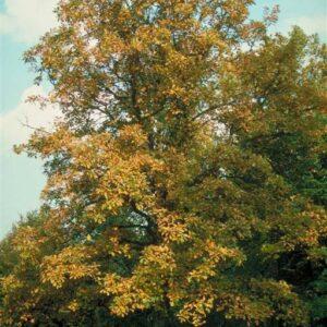 Quercus bicolor  - PB12 (120/140)