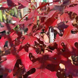 Quercus coccinea  - PB12 (170/220)