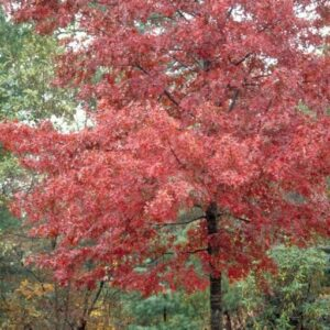 Oak Tree Packs 20 trees for $195 Limited time only!!!