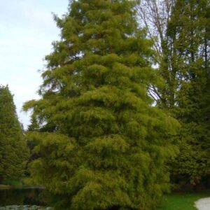 Taxodium distichum  - PB18/28 (180/220)