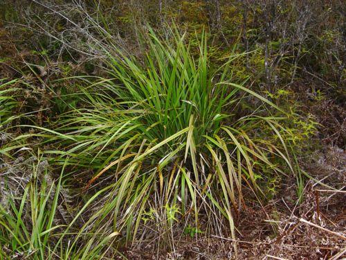 Dianella nigra - PB6.5 (20/30)