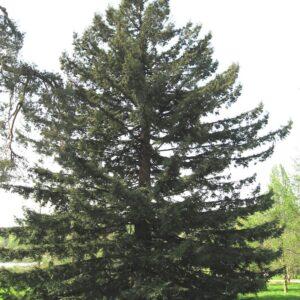 Sequoia sempervirens - PB28 (120/140)