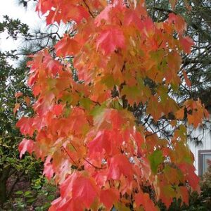 Acer rubrum 'Bowhall' - PB40 (260/280)