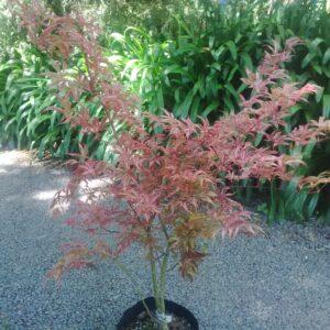 Acer Palmatum Shirazz - PB28
