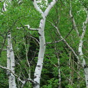 Betula platyphylla japonica - PB12 (180/240)