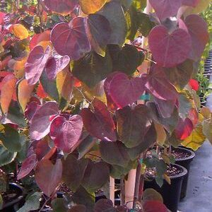 Cercis canadensis 'Forest Pansy' - PB28 (180/220)