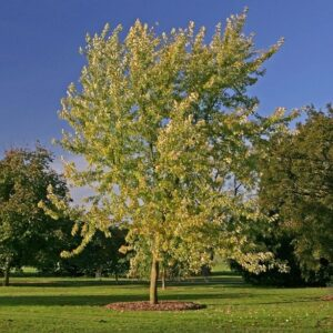 Acer saccharinum (Silver Maple)- PB18 (220/240)
