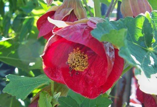 Abutilon x hybridum red-PB 6.5 (40/50)