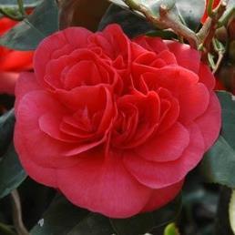 "Camellia ""Curly Lady""-PB 6.5 (80/120) Camcula"