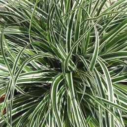 Carex oshimensis Everest - PB 5 (10/15)