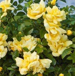 Rose Flower Carpet Gold PB 6.5 (30/40)