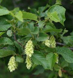 Ostrya carpinifolia PB12 (100/110)