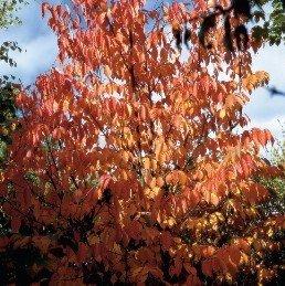 Prunus sargentii PB28 (220/250)