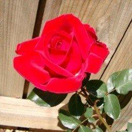 Bush Rose - Floribunda 'La Passionata'
