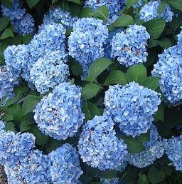 Hydrangea macrophylla Blue Prince PB6.5 (30/40)