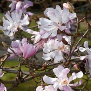 Magnolia stellata King Rose PB18 (80/90)