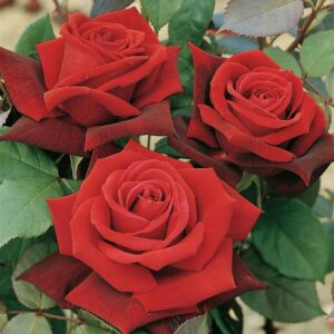 Bush Rose - Hybrid tea Deep Secret