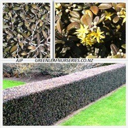 Corokia Frosted Chocolate - PB5 (40/50)