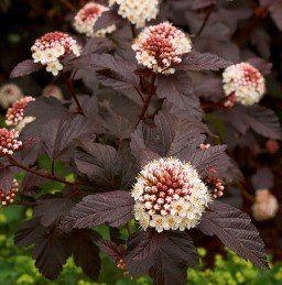 Physocarpus opulifolius Shady Lady - PB6.5 (60/80)