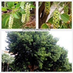 Phytolacca dioica PB6.5 (70/140)