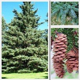 Picea pungens Glauca PB6.5 (35/40)