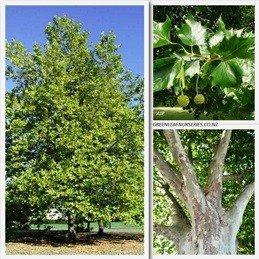 Platanus Acerifolia PB40 (150/250)