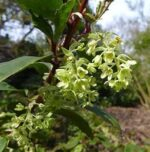 Ribes laurifolium - PB6.5 (40/50)