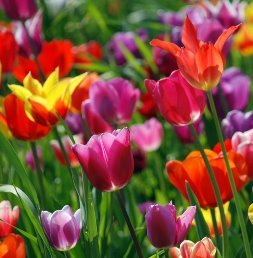 Tulips, Dwarf - Boutade