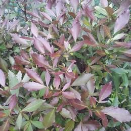 Pseudopanax lessonii Purpureum - PB5 (60/70)