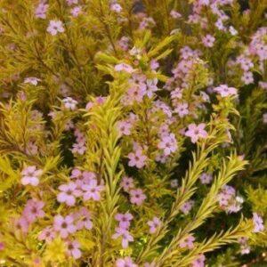 Coleonema pulchrum Sunset Gold - PB5 (20/30)