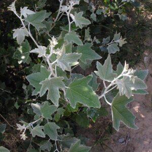 Populus alba pyramidalis - PB6.5 (120/140)