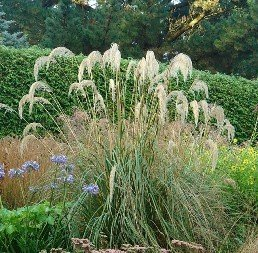 Cortaderia richardii - TUBE (20/30)