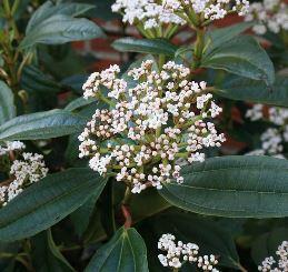 Viburnum davidii (Male) - PB5 (20/30)