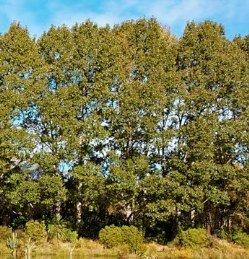 Populus Yunnanensis PB12 (150/250)