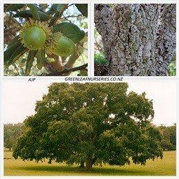 Quercus canariensis 1.5Ltr (20/40)